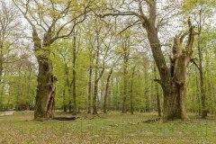 180430 Wald Ivenack 2927-2