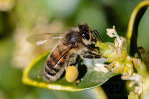 Biene mit Pollen in Nahaufnahme