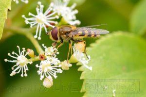 Insekten auf Bluete Nahaufnahme