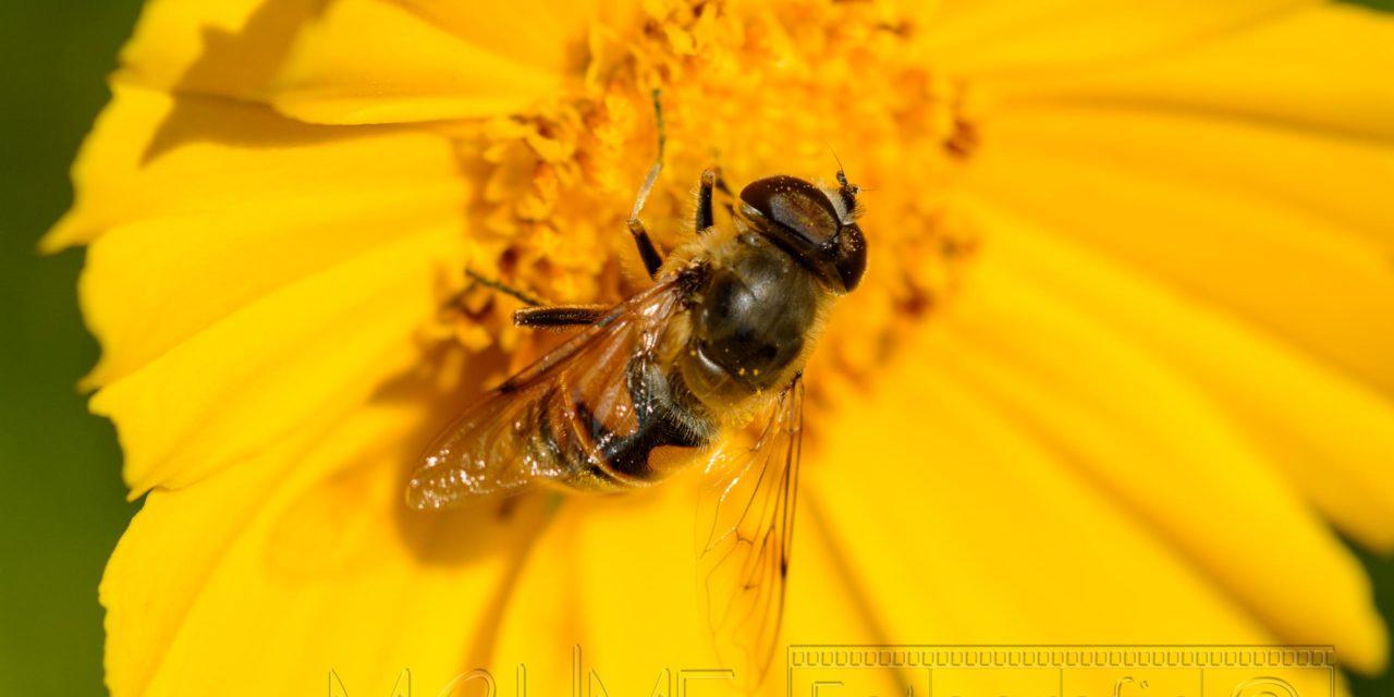 Biene auf gelber Bluete