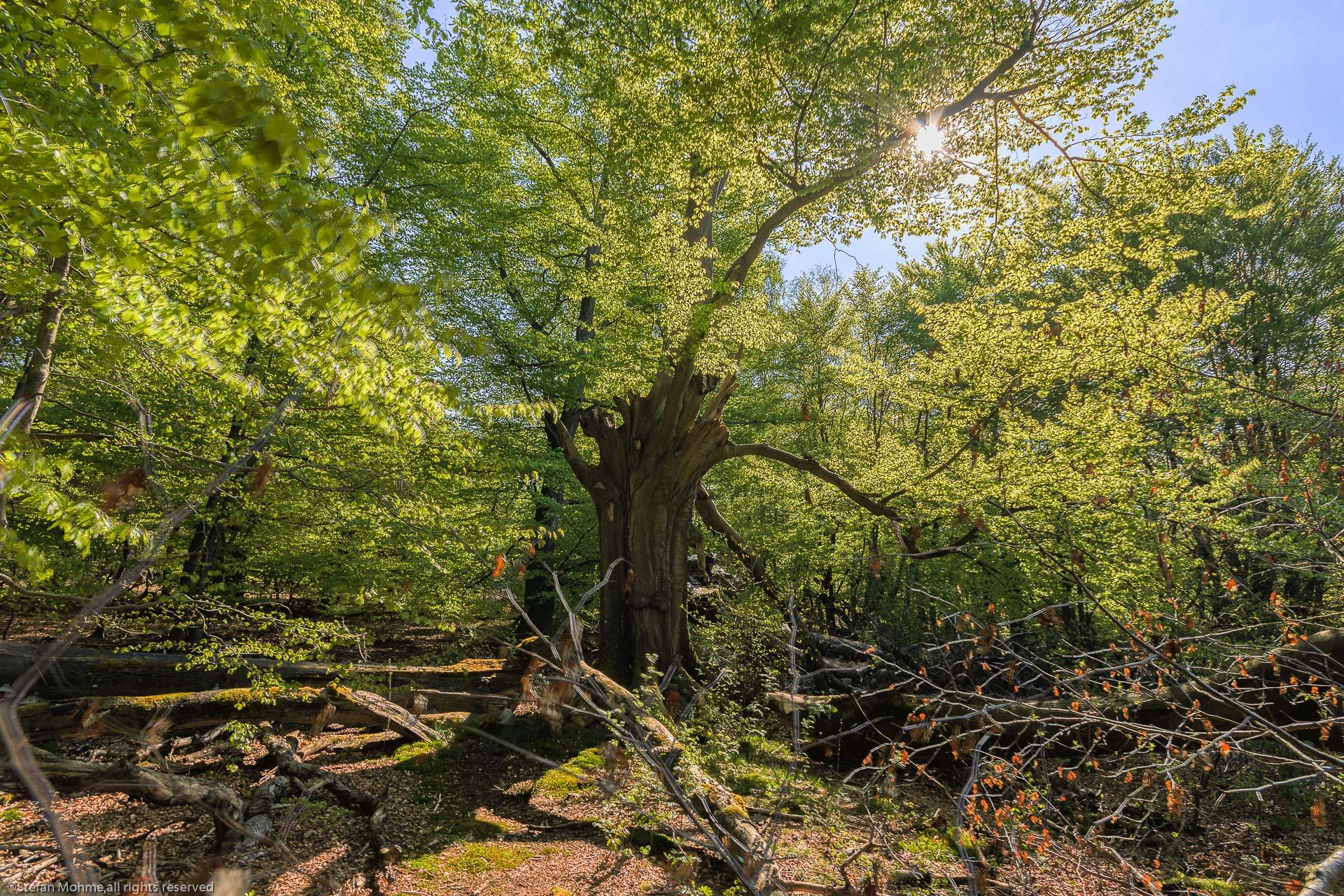 Alter Baum i8m Wald