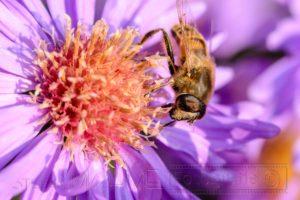 Biene auf pink Bluete