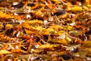 Nahaufnahme von goldnem Herbstlaub