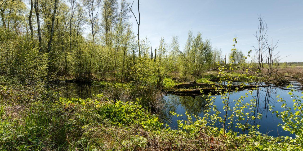 Moor,sommer,baeume,natur,landschaft,birke