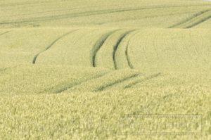 Getreide,feld,großaufnahme