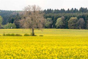 Baum, Rapsfeld,gelb,Wald