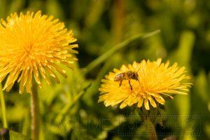 Biene,Bluete,gelb,Nahaufnahme,Insekten