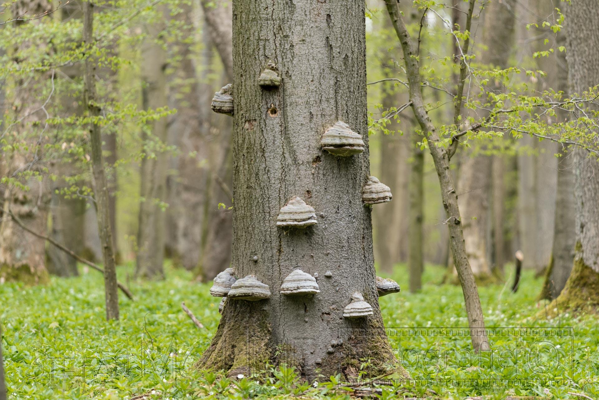 Baum,baumstamm,pilz,wald,baueme