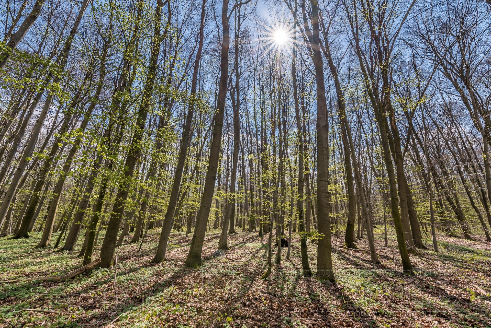 Wald,baeume,gegenlicht,sonne,natur,hainich