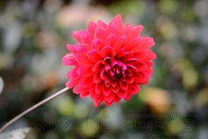 Blume,rot,macro,details