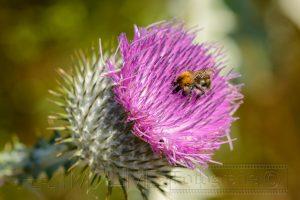 Hummel,bluete,pink,natur,details,macro