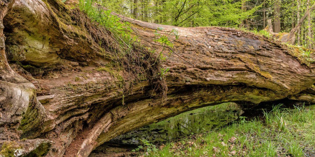 Baum,eiche,alt,nahaufnahme,totholz,natur