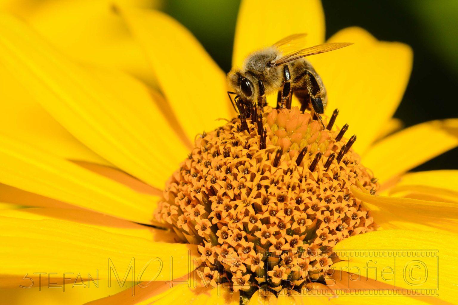 Biene,insekt,natur,makro,details,bluete,gelb