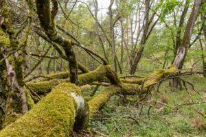 wald mit moosbewachsenen bäumen