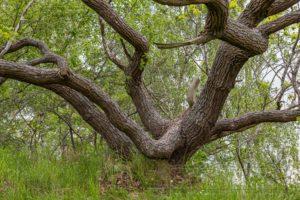 alter eichenbaum