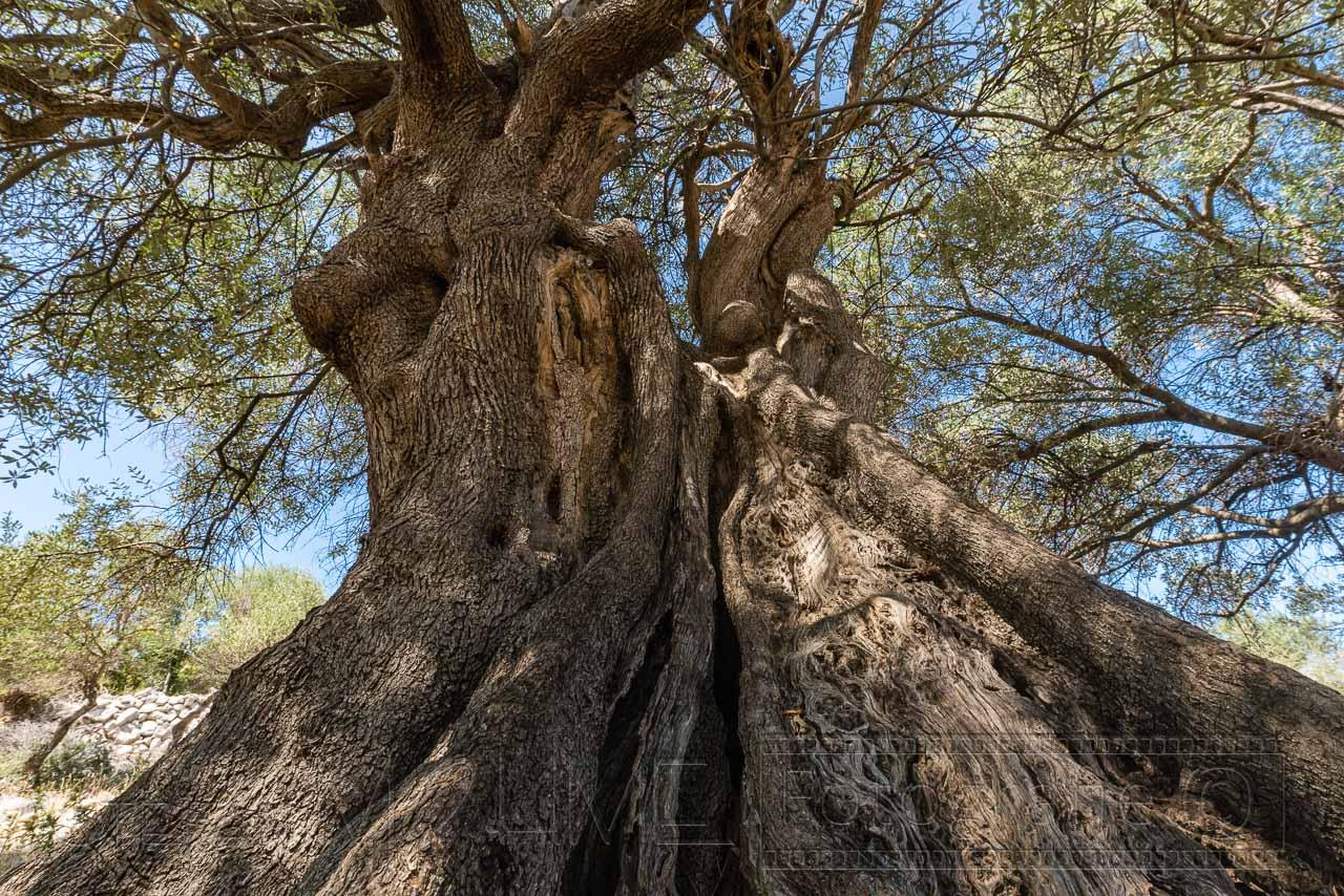 Baumstam von Olivenbaum