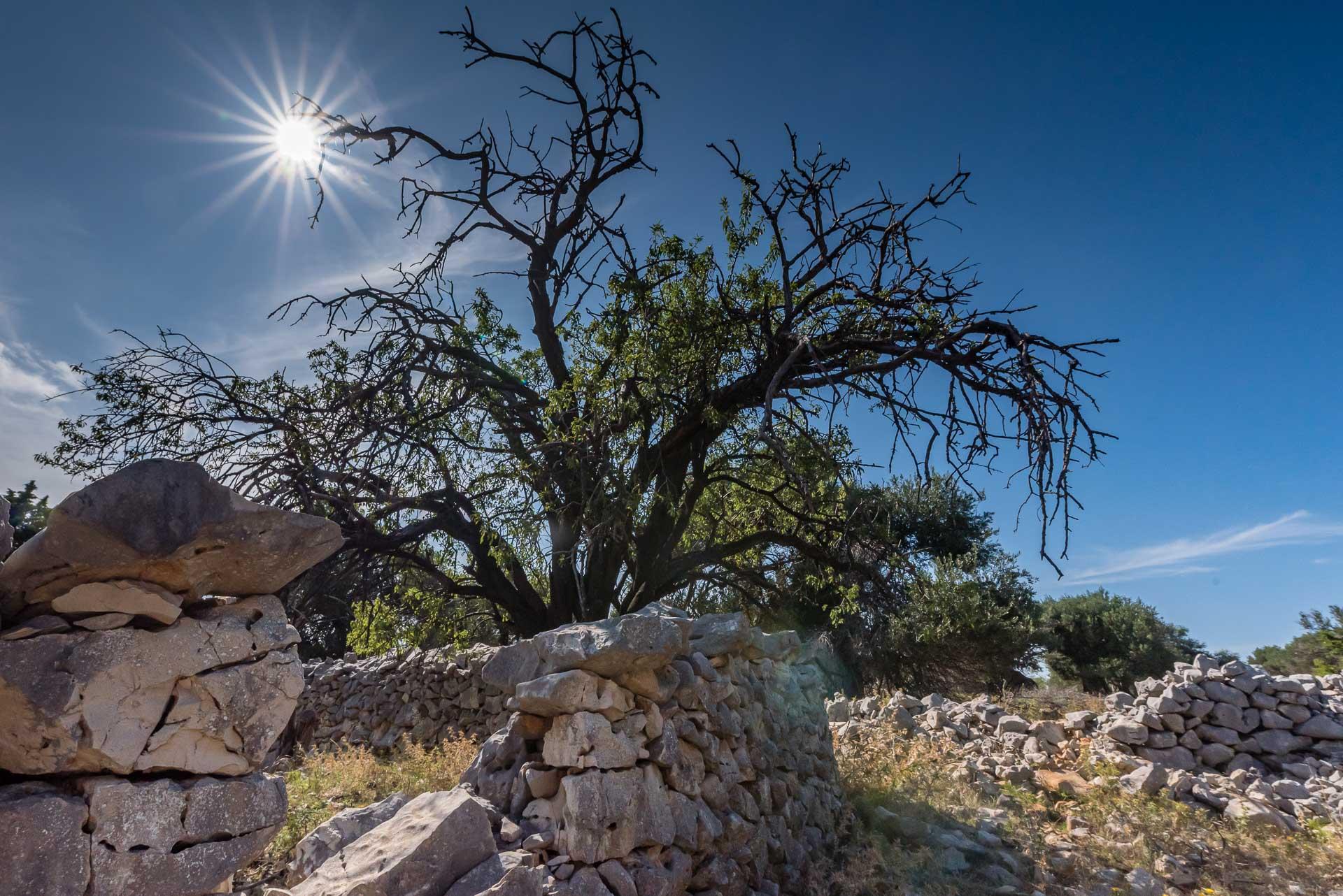 Alter Olivenbaum im Gegenlicht