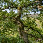 Nationalpark, Kellerwald Edersee, Knorreichenstieg