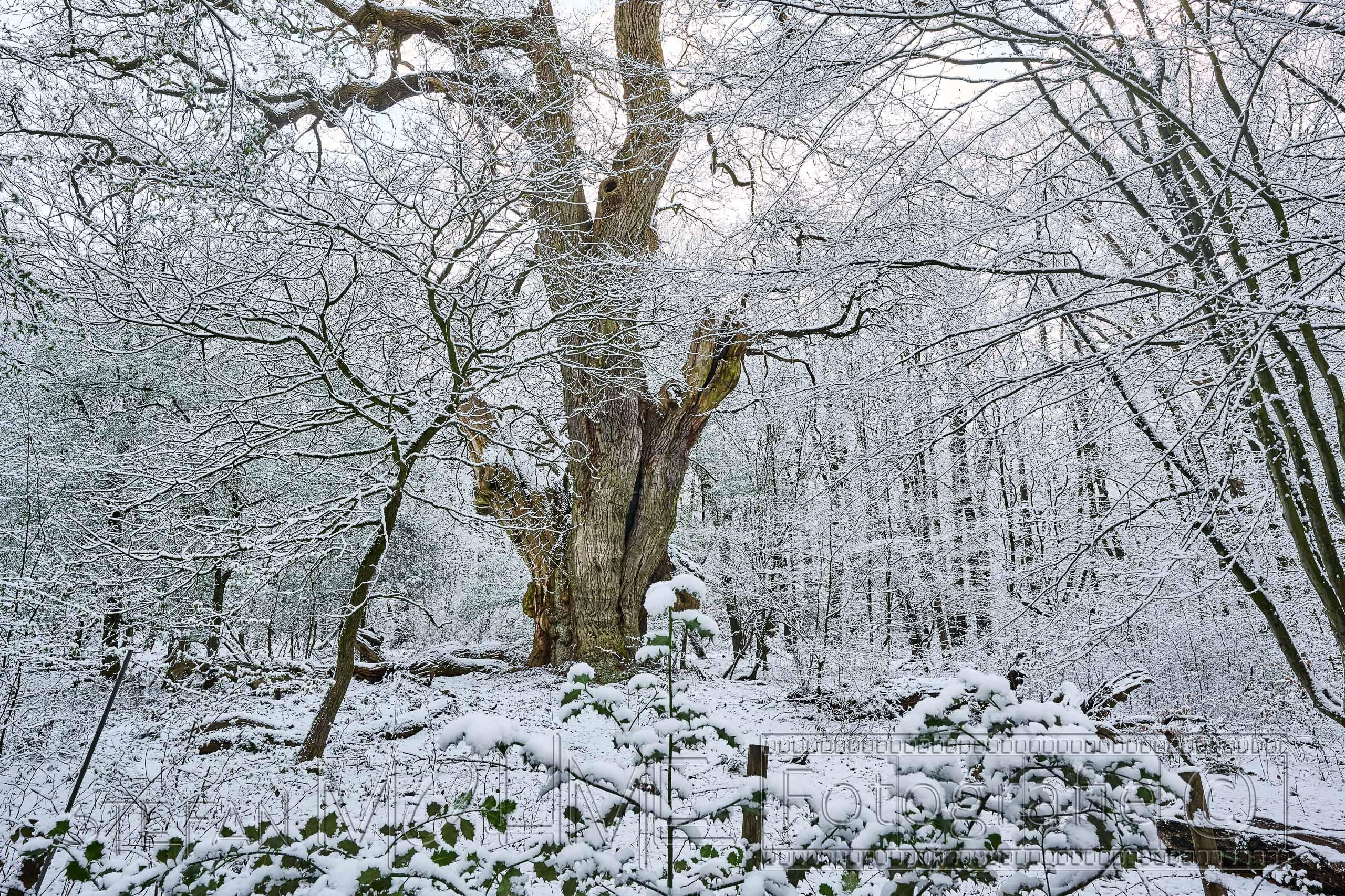 Urwald,Hasbruch,Bäume,Natur,Wald,Schnee