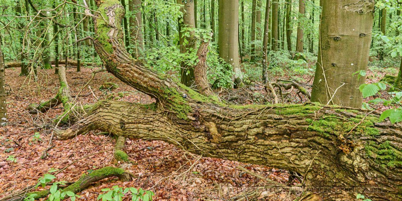 Neuenburger Urwald bei Oldenburg, erste Bildimpressionen.