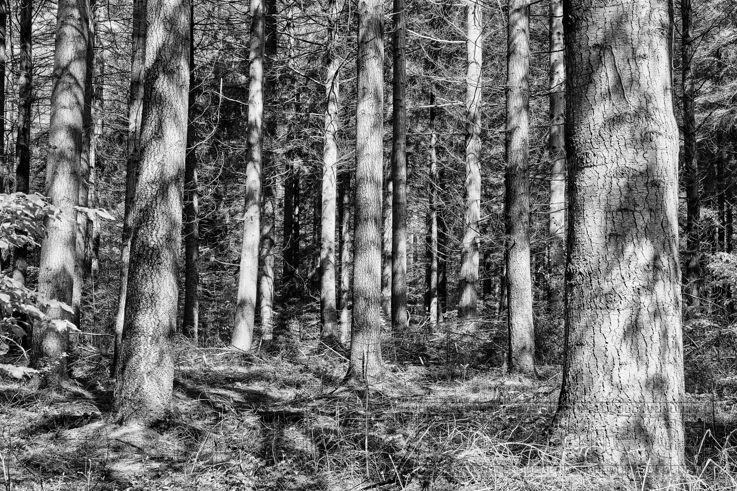 Wald, schwarzweiss