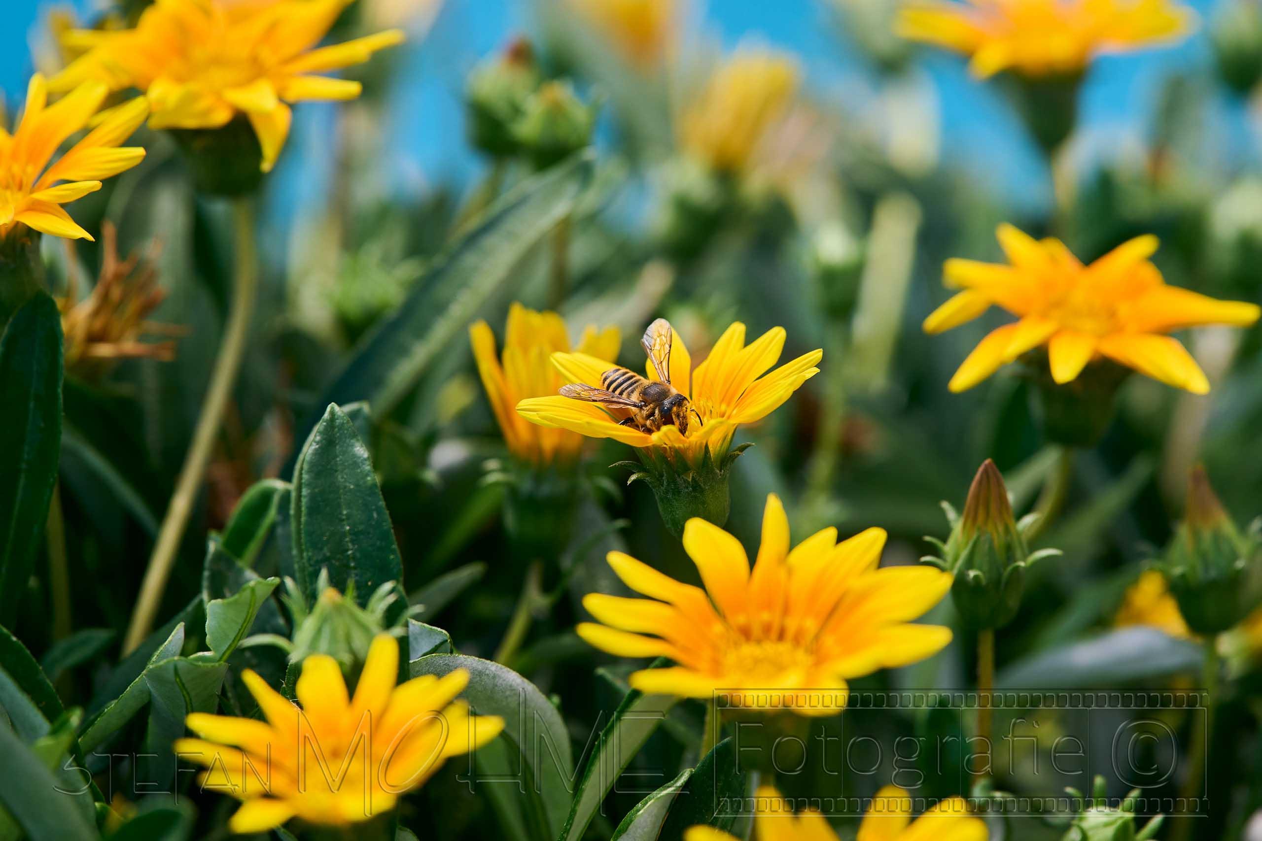 Nahaufnahme, Blüten ,gelb, Biene