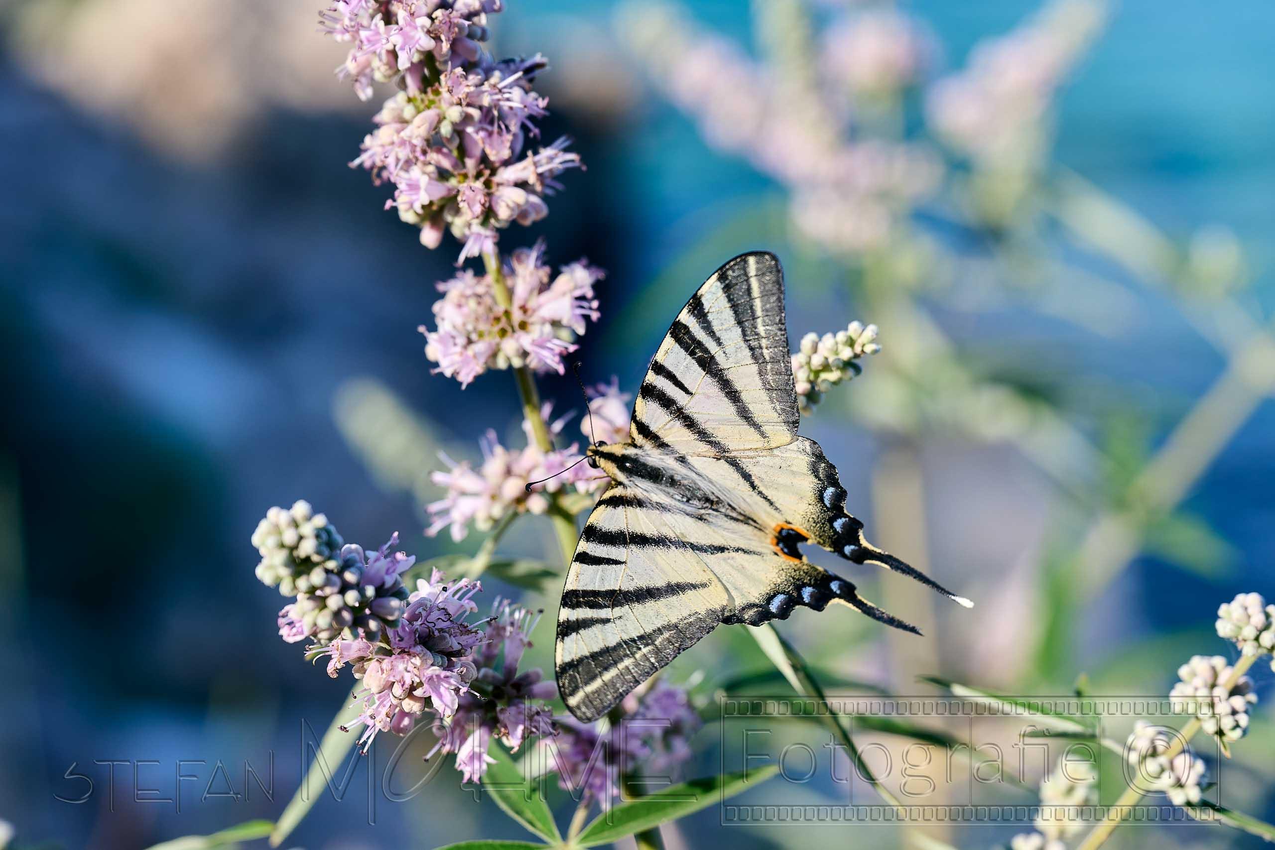 Nahaufnahme ,Schmetterling , Blüte