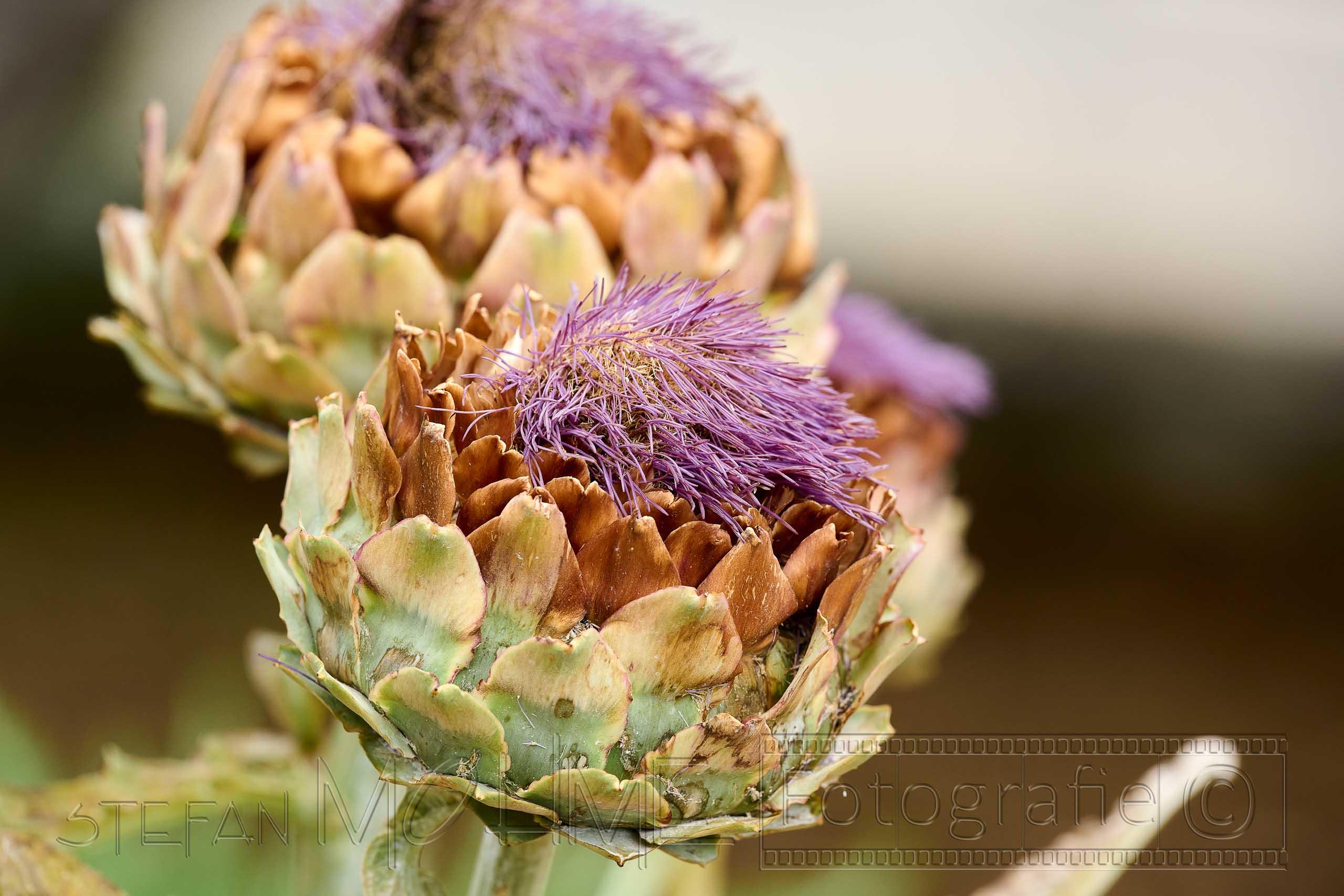 Nahaufnahme, violette, Blüten