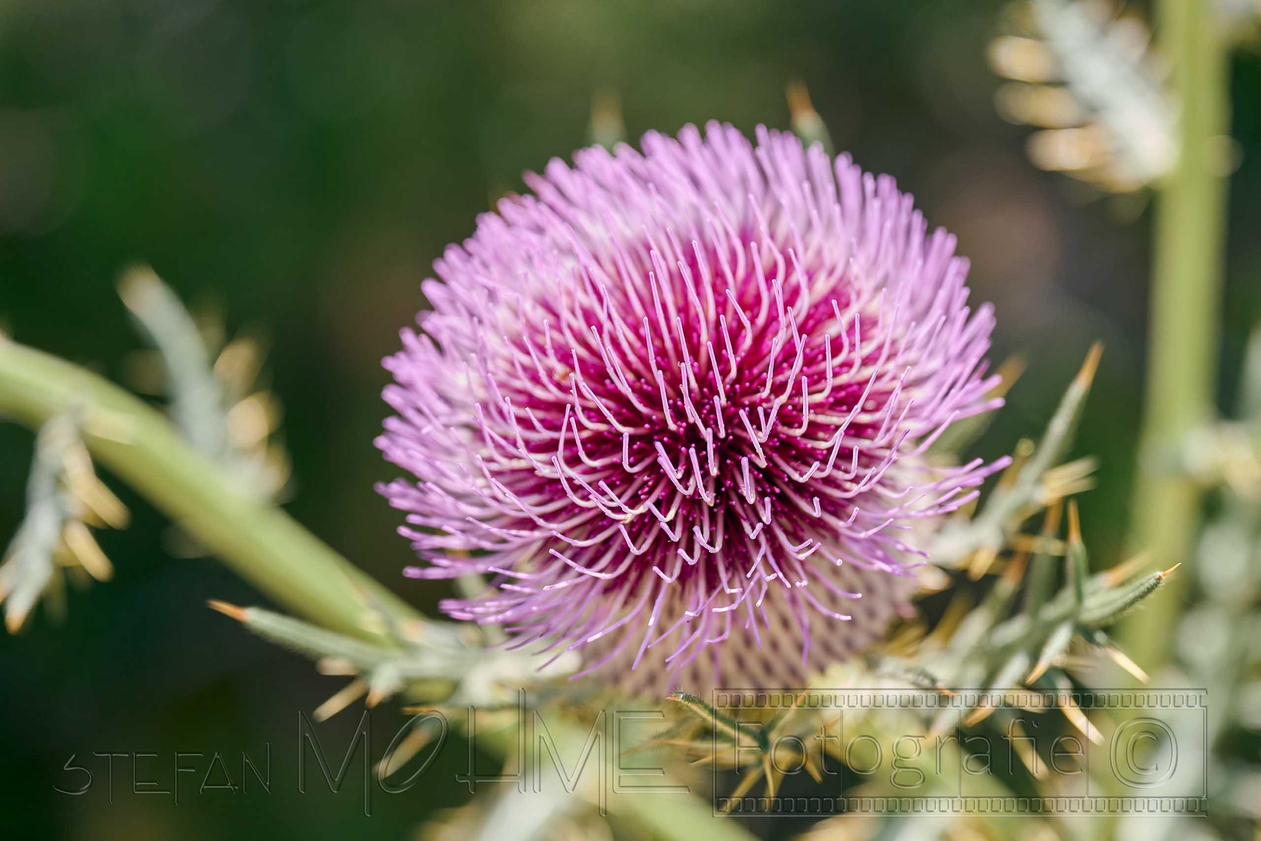 Nahaufnahme ,violette ,Blüte
