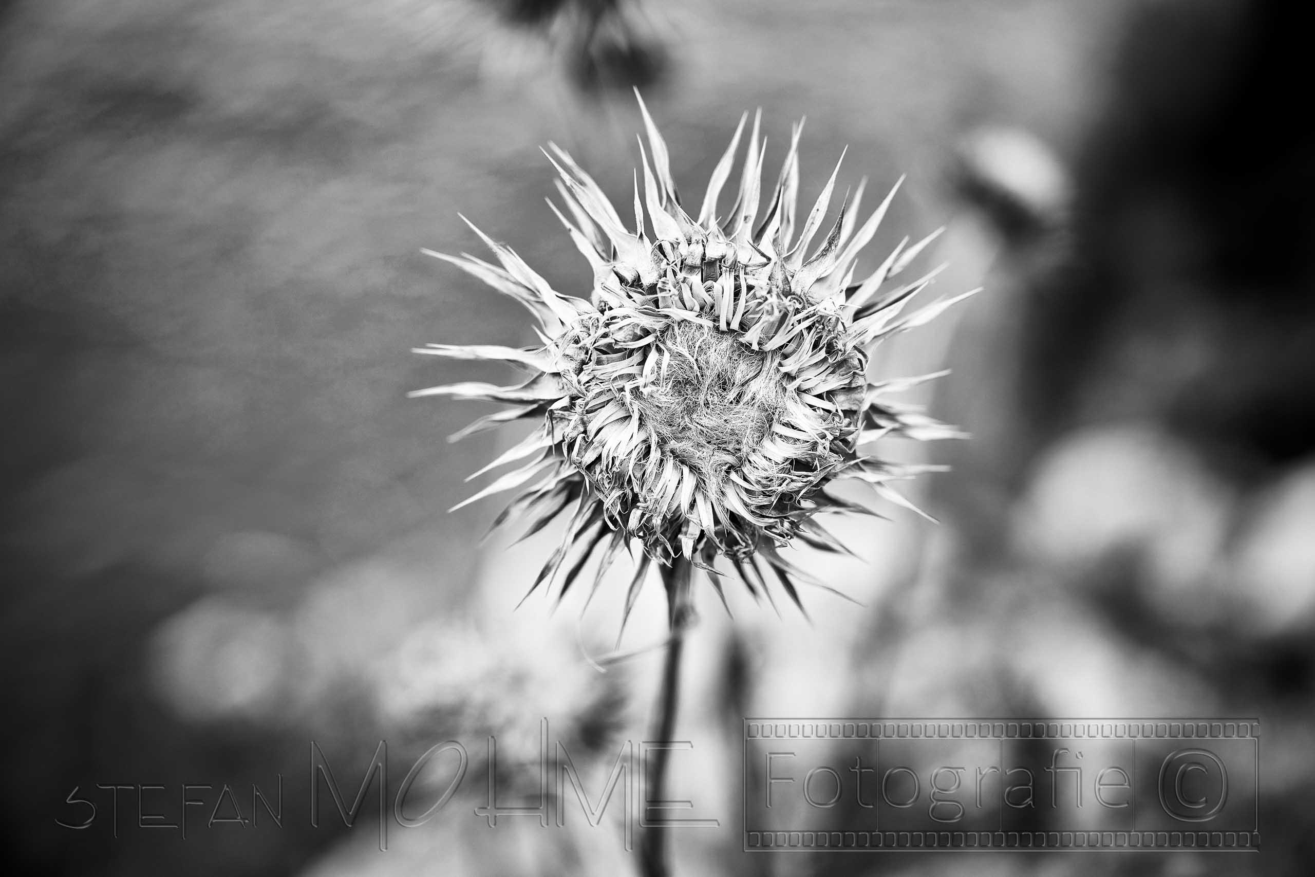 Nahaufnahme Blüte Distel schwarzweiss