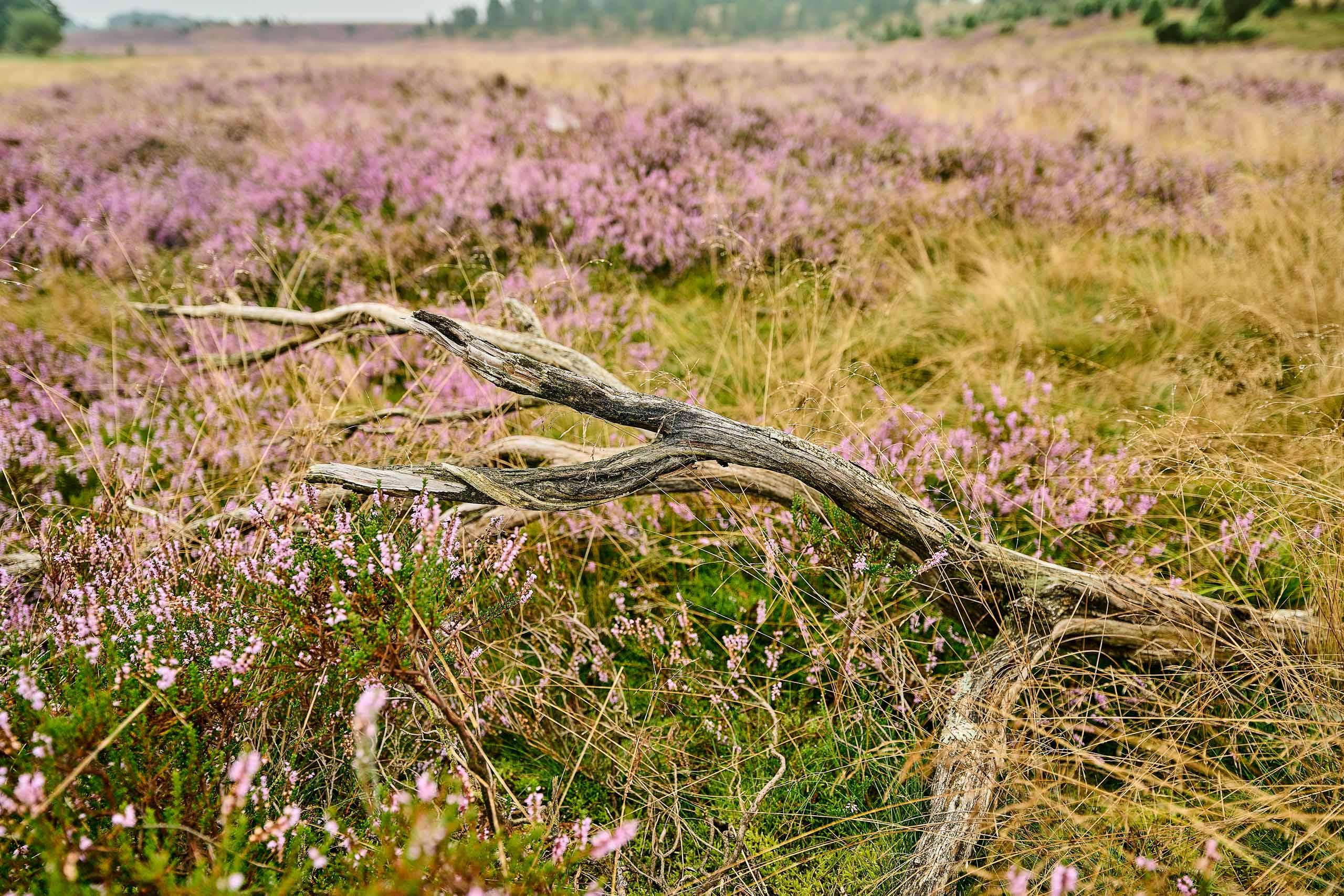 Fischbeker Heide ,Naturlandschaft, Heideblüte
