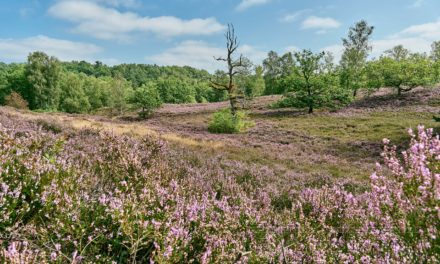 Heideblüte im Norden, meine Bildimpressionen.